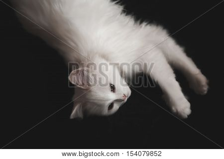 White cat lying on a black background. Isolated