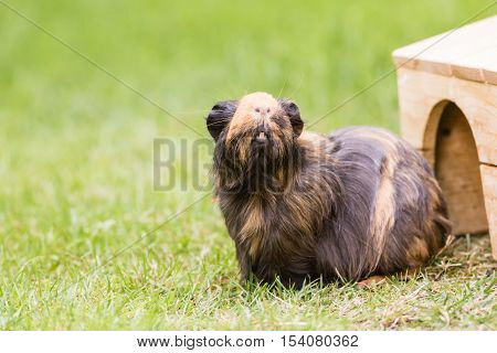 Guinea Pig On The Grass