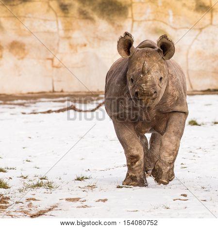 Rhinoceros - Diceros Bicornis