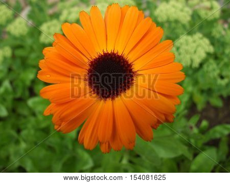 Orange daisy gerbera flower with waterdrops. on grass background