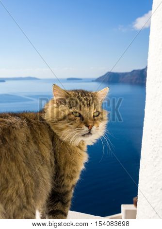 Cat of Santorini island in Greece