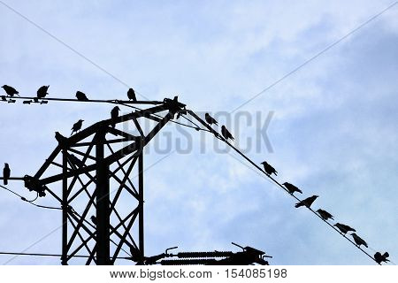 Rook (Corvus frugilegus) perched on power lines tower