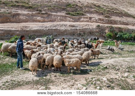 KIDRON VALLEY, ISRAEL - MARCH 5, 2011: shepherd and flock of sheep