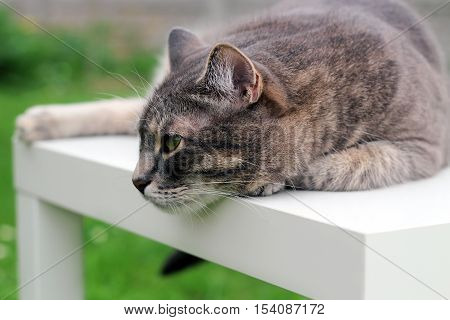 Beautiful gray relaxing elegant cat. Green background behind