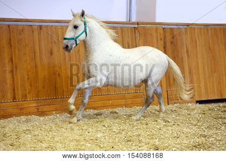 Young purebred lipizzan breed horse canter alone. Grey colored youngster lipizzan horse galloping in riding hall