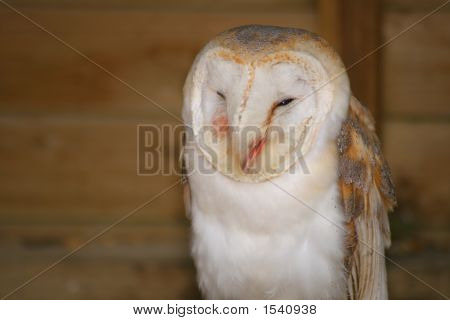 Barn Owl (1593)
