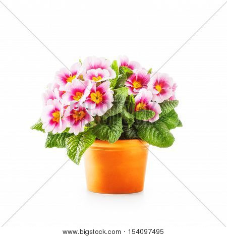 Spring primrose flowers. Flowerpot with pink primula bunch isolated on white background clipping path included