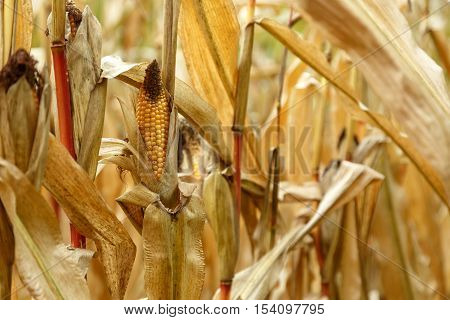dry corn cobs on an autumn field is not retracted