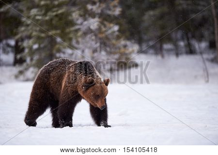Big brown bear walking in snow in the finnish taiga