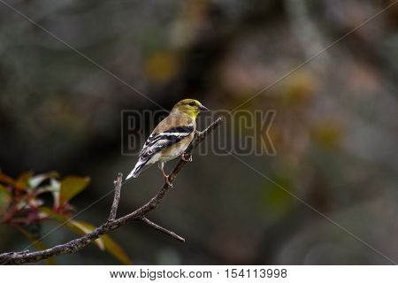 American Goldfinch in bush in back yard.