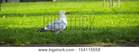 Seagull walking on the green grass wildlife solitary fauna