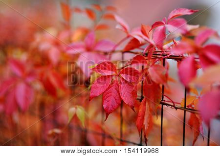 Red virginia creeper leaves at autumn on autumn day