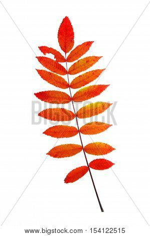 red staghorn sumac leaves in autumn isolated on white background