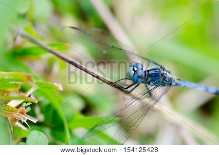 Purple dragonfly perched on a twig eyes. Natural background blur