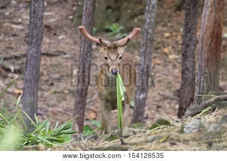 Image of a sambar deer munching grass in the forest.