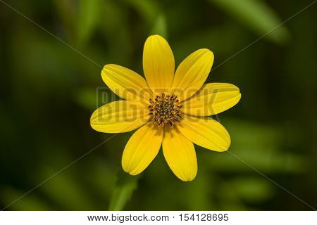earded Beggartick (Bidens aristosa) in full bloom