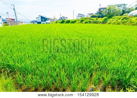 Small Rice Plants Farming Plot Land Japan Houses H