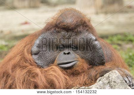Image of a big male orangutan orange monkey.