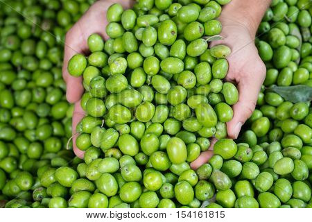 Fresh Harvested Green Olive for olive oil production