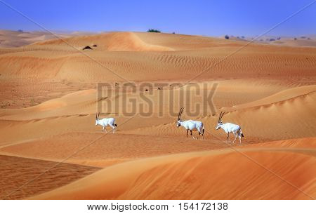 Oryxes or Arabian antelopes in the Desert Conservation Reserve near Dubai, UAE
