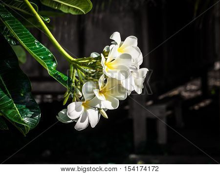 The Yellow And White Plumeria On The Plumeria Tree In Dried Grass Background