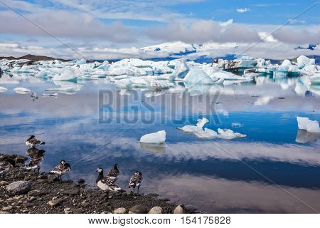 Beautiful summer morning in the icy ocean lagoon with floating ice. On the coastal edge feeds flock of birds - Goose Branta leucopsis