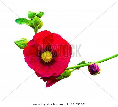 mallow. mallow flowers isolated on white background. hibiscus flowers