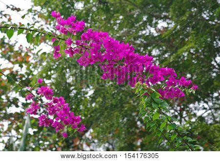 Lesser bougainvillea (Bougainvillea glabra), bougainvillea flowers in rainforest, general view.