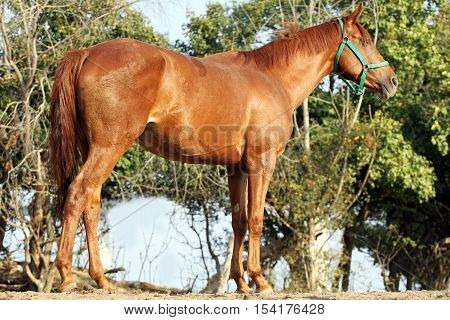 Purebred anglo arabian stallion standing in summer corral against green natural background