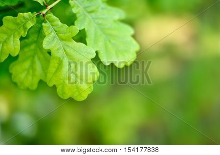 Oak leaves and copy space, springtime background.
