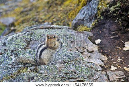 Eastern chipmunk (Tamias striatus) sitting on a stone