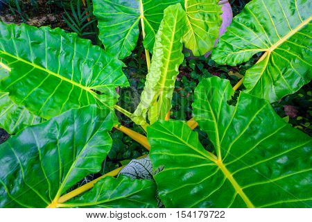 green caladium leaf and caladium tree with ligh and dark tone.