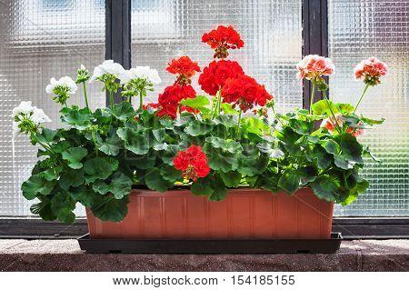 Geranium flowers on windowsill. Summer floral arrangement