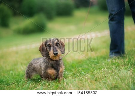 Wire haired dachshund dog walking in grass on a leash.