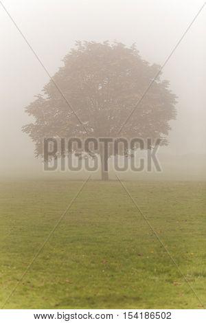 Single Autumn or Fall tree in mist or fog