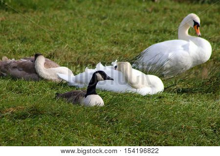 A pair of mute swans sleeping with their cygnet and a canada goose