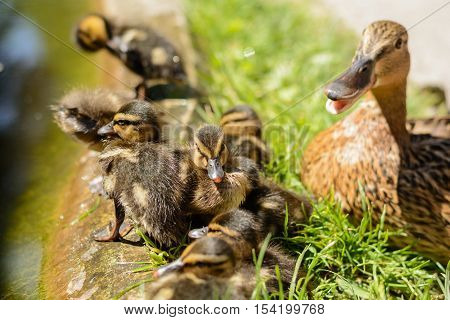 Numerous duck chicks with the duckling - close-up