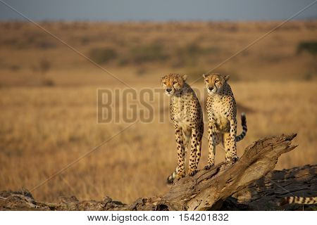 Brothers: Two cheetahs sitting on the tree in Kenya