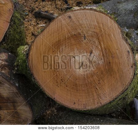 Recently cut tree trunk showing rings and saw marks