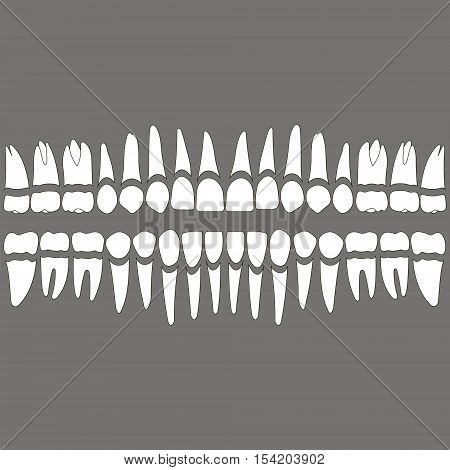 dentition white teeth and roots separately on a gray background for the dental clinic dental crowns and roots done in vector and easily editable color and shape.