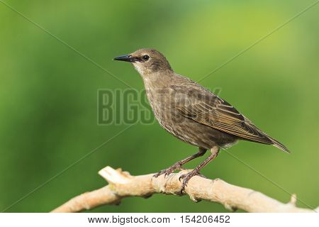 Starling sits on a dry branch on a green background, young bird, black bird