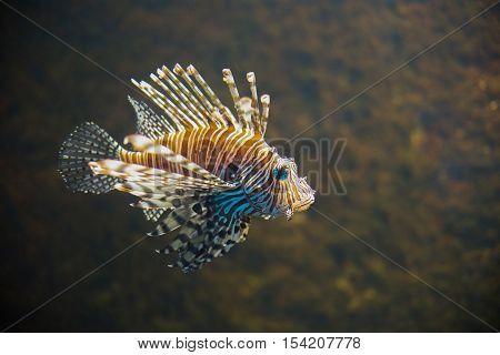 close up on Common lionfish (Pterois miles) portrait