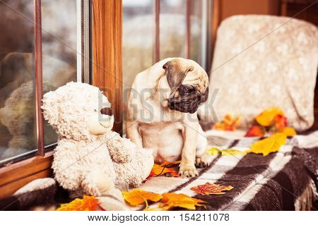 Sad Fawn Puppy Pug Looking At Autumn Leaves On Windowsill