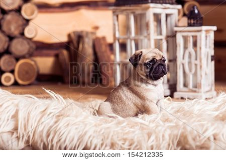 Little Beige Pug Puppy Laying On The Furs Against The Background Of Lanterns