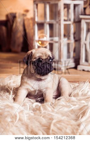 Little Beige Pug Puppy Laying On The Furs Against The Background Of Lanterns And Soap Bubble