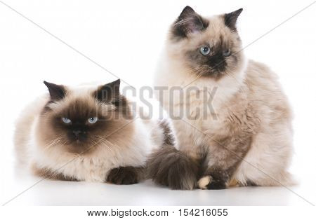 two ragdoll kittens isolated on white