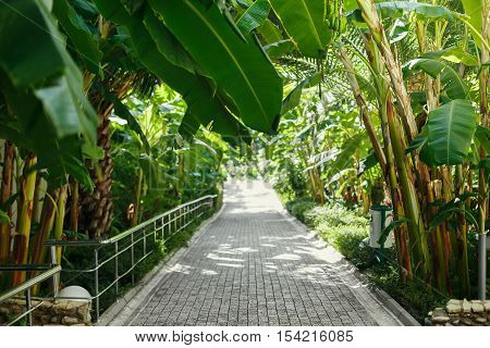 a walking path stretches into the distance under the palm trees and other plants. The hotel grounds, drooping banana trees in the sun.