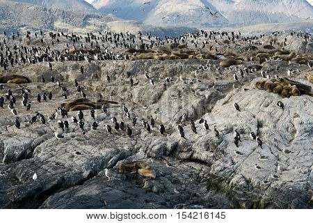 Colony of King Cormorants and Sea Lions on Ilha dos Passaros located on the Beagle Channel Tierra Del Fuego. March 25, 2013 - Argentina
