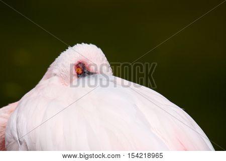beautiful flamingo portrait, nature photography