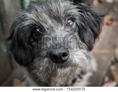 Sad old dog. Gray shaggy crossbreed. Nose close up. Blurring.